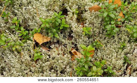 Autumn Background With Yellow Birch Leaves, Lying On Gray Moss And Growing Cranberry. Background Ima
