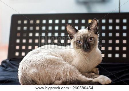 Portrait Of A Siamese,female Kitten Looking At Camera