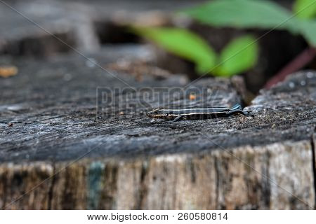 Juvenile Five-lined Skink On Tree Stump. It Is A Species Of Lizard Endemic To North America And One