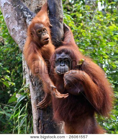 two orangutan, in sarawak ( borneo  )
