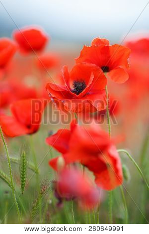 Red Poppies On A Mountain Meadow.flowers Red Poppies Blossom On Wild Field. Beautiful Field Red Popp