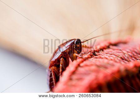 Cockroach On Brown Broom.