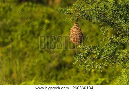 Abandoned Nest Of Baya Weaver Nest Isolated Background