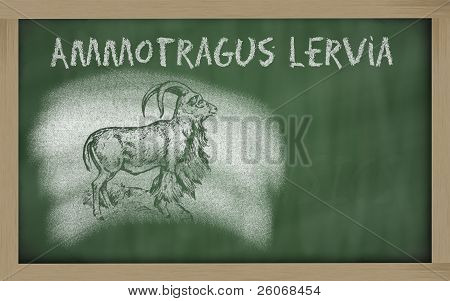 Ammotragus lervia sketched with chalk on blackboard poster