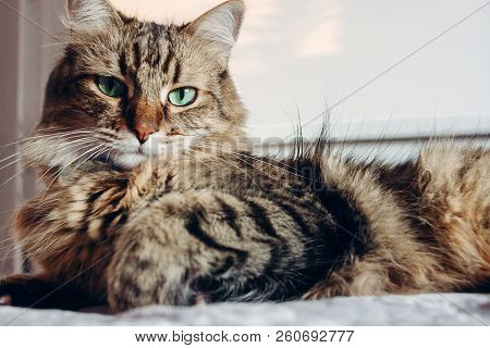 Beautiful  Maine Coon Cat With Green Eyes Resting On Soft Bed In Sunny Evening Light. Tabby Fluffy C