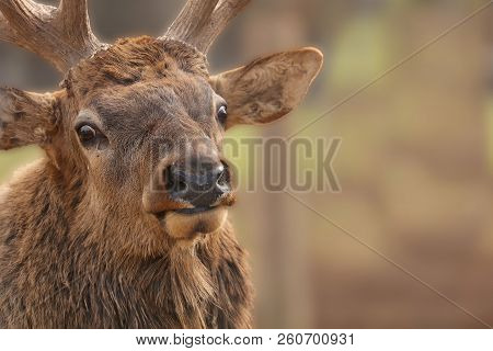 The Elk  (cervus Canadensis)  Or Wapiti In Game Reserve. Wapiti Is  Largest One Of The Largest Land