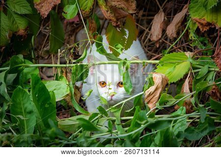 White Cat peeking through the undergrowth, ambush for hunting poster
