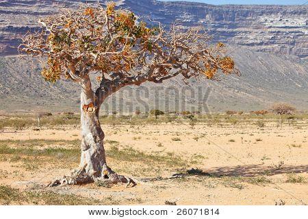 myrrh tree (Commiphora myrrha is a tree in the Burseraceae family)