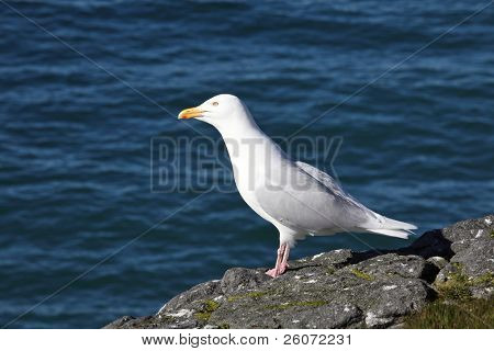 Glaucous Gull (Larus hyperboreus) on a background of the blue sea, Russian Arctic, Franz Josef Land