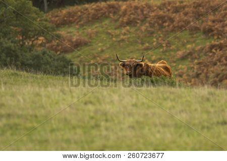 Scottish Highland Cow Bull In Field