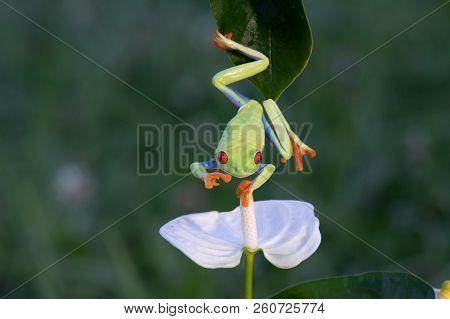 Frog/red-eyed Amazon Tree Frog (agalychnis Callidryas)costarica Ecuador