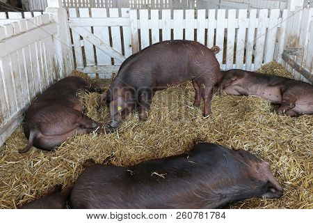 Black pigs inside their enclosure on animal farm poster
