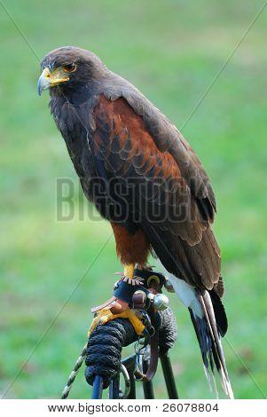Hawk resting in New York Manhattan Medieval Festival.