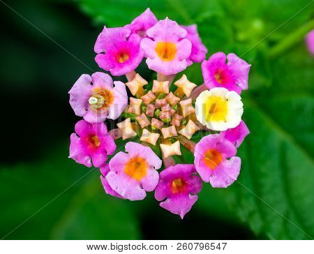 A Tiny White Spider Feeds On A Tiny Insect Inside Of Tiny Lantana Flowers.