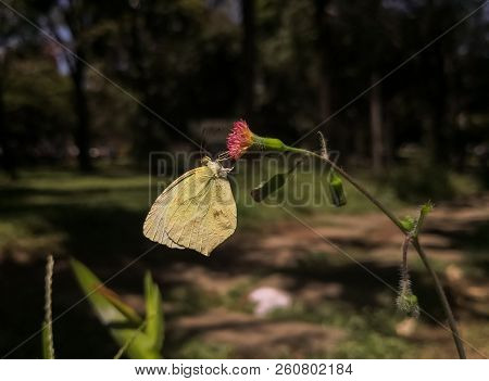 Big Butterfly With A Mimicry Of A Green Leaf. Common Brimstone, Gonepteryx Rhamni Over A Thistle Flo
