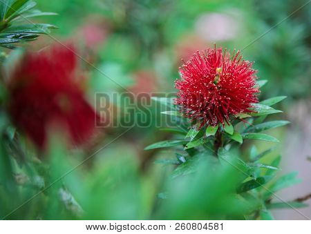 Mimosa Pudica (sensitive Plant, Sleepy Plant, Shameplant, Shy Plant, Touch Me Not) Is Showing Red Bl