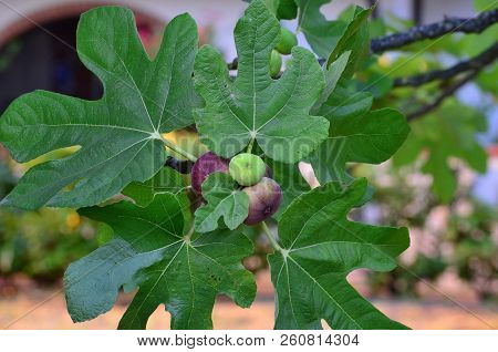 Ripening Fruit Of The Fig Tree, Eraclea Mare, Italy