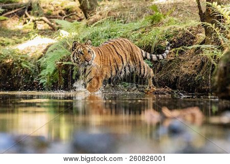 Tiger Runs Behind The Prey In Water. Hunt The Prey In Tajga In Hot Summer Day. Tiger In Wild Nature.