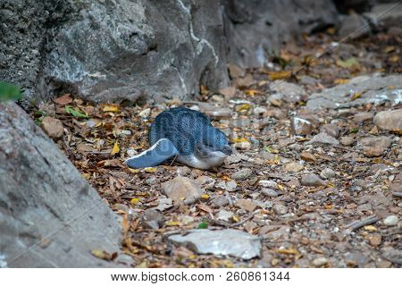 Little Blue Penguin Laying On Leafs And Rocks