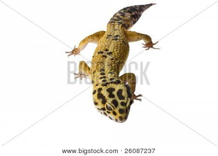 Leopard gecko isolated on white background