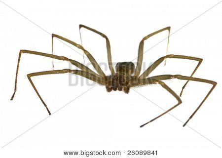 Brown recluse spider isolated on white