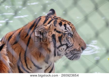Tiger In The Cage, Tiger In Thailand