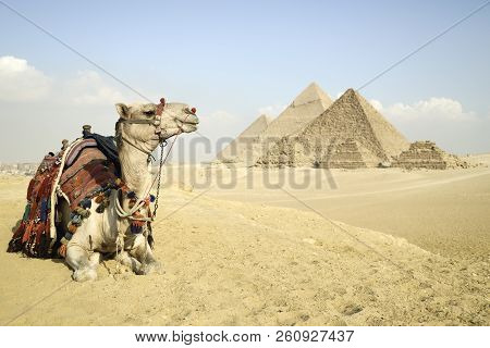 Panoramic View Of The Pyramids From Giza Plateau, Cairo, Egypt. Camel Sitting In Front Of The Pyrami