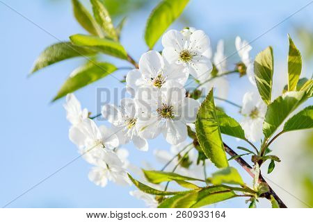 Spring Background Art With White Cherry Blossom. Beautiful Nature Scene With Blooming Tree And Sun F