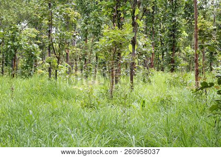 Trees In The Rainforest Of Thailand Terrain For Design In Your Work Nature.