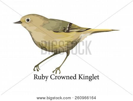 Ruby Crowned Kinglet Exotic Bird. Wild Nature