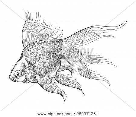 Gold Fish Engraving Or Vector Vintage Sketch Isolated On White Background For