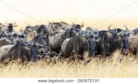 Panoramic shot of a herd of white-bearded wildebeest in the red-oat grass of the Masai Mara.