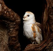 A Barn Owl (Tyto Alba) perched in hollow of a tree. poster