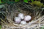 Feathered nest with quail eggs poster