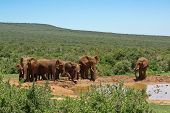 group of elephant near watering-place in savanna poster