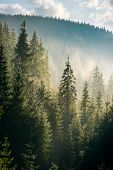 spruce forest on the hill in morning haze. lovely nature scenery in beautiful light poster