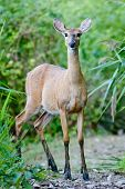 Startled white tailed deer on a path in the woods poster