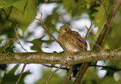 Cardinal birds first flight from nest poster