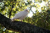 A white dove sitting on a branch poster