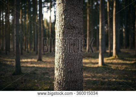Spruce Monoculture Forest In The Czech Republic. Beautiful Nature And Detail Of Stem.