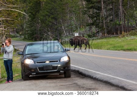 Yellowstone National Park, Usa - July 12 2014:  A Large Bison Bull Walking Across The Road With A To