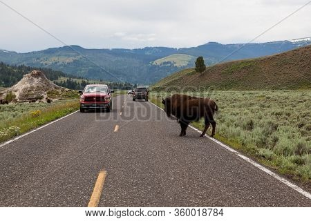 Yellowstone National Park, Usa - July 14 2014:  Cars Driving Slowly And Stopping To Let Bison Cross