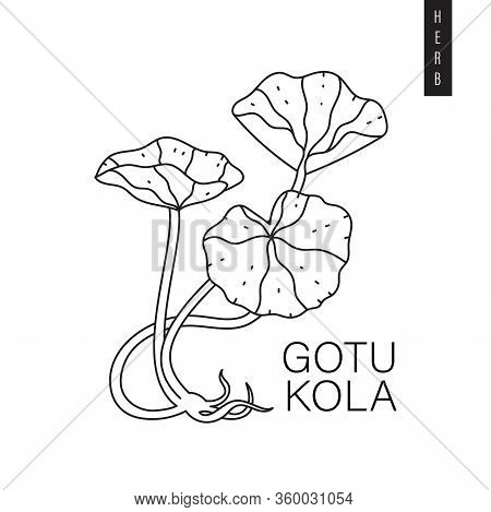 Vector Illustration Of Indian Pennywort, Asiatic Pennywort Or Goyu Kola Drawn In Outline Style Isola