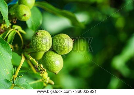 Walnut Tree. Walnut Branch. Green Walnuts. Unripe Walnuts.