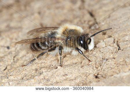 Osmia Rufa, Solitary Red Mason Bee, Pollinator