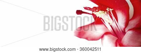 Macro Red Flower Isolated On White Background With Copyspace. Nature Minimalistic Banner. Stock Phot