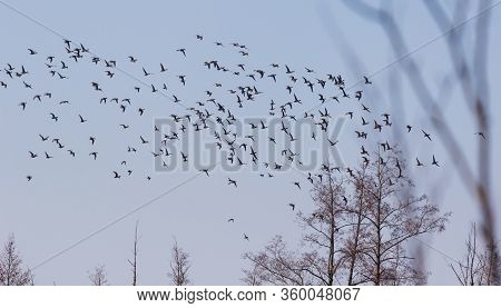 Ducks Gather On A Sky During The Spring Migration