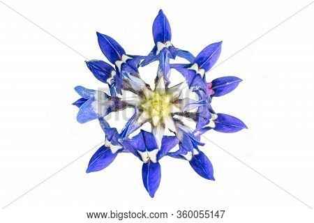 Bluish-purple Bluebonnet Isolated On A White Background