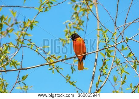 Beautiful Baltimore Oriole on tree branch