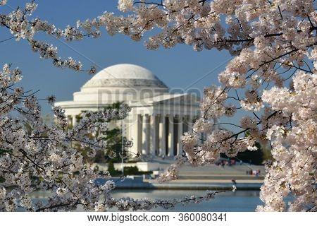 Washington DC during Cherry Blossom Festival - Jefferson Memorial and cherry blossoms - Washington DC, United States of America